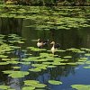 forest-view-ducks-on-lake